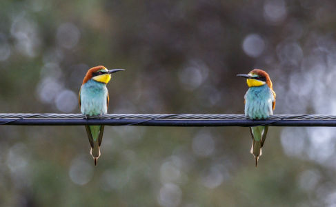 Abejaruco común_(Merops apiaster)
